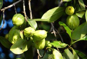 garcinia cambogia frutos