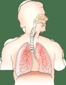 poumons sains